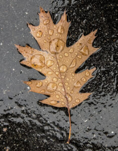 Photograph of a brown leaf against a dark background with drops of water
